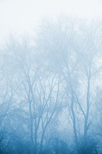 Mysterious bare winter treetops in fog