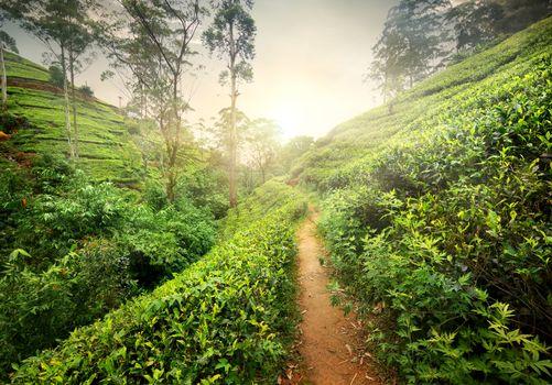 Footpath in tea plantation