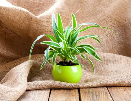 green Chlorophytum plant in the pot, on sackcloth wooden backgro
