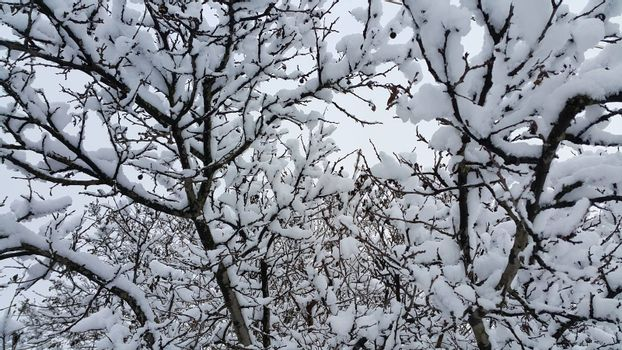 Branches of winter trees covered with snow