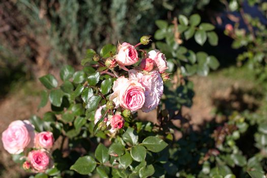 Several pink roses on a green bush