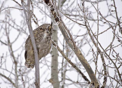 Great Horned Owl in Tree