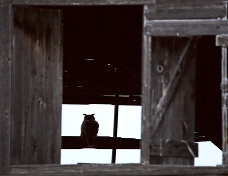 Great Horned Owl in Barn