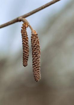 Catkins of a birch