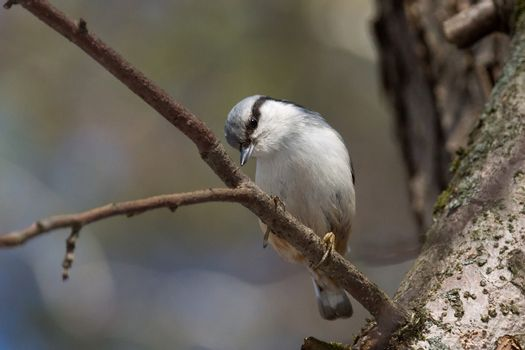 The photo depicts a gray nuthatch on tree