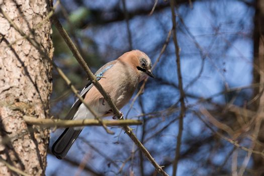 The photograph depicts jay on a branch