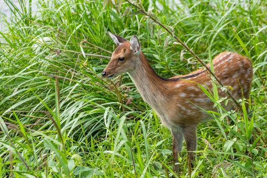 Roe deer seek for food