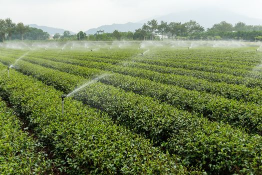 Water supply for green tea farm