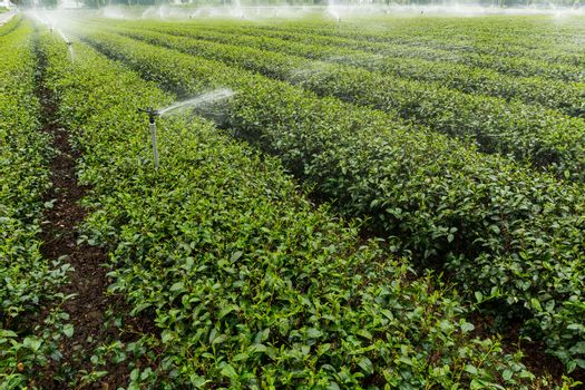 Water supply for tea plant in TaiTung, TaiWan