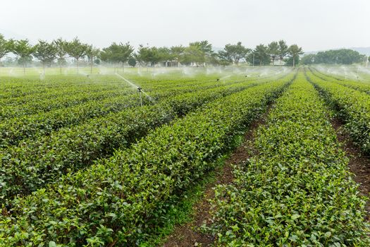 Green tea plant with water supply