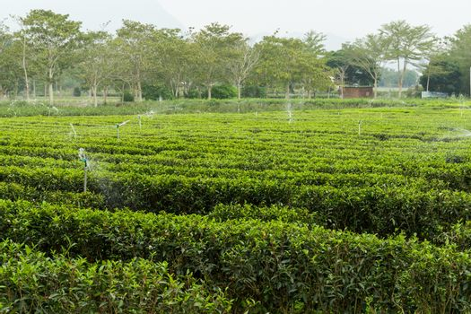 Green tea plant with water supply system