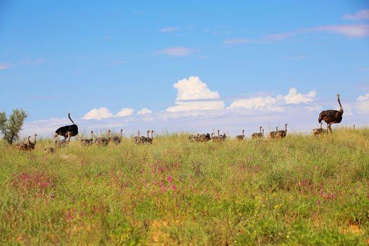ostrich babies at kgalagadi transfrontier national park