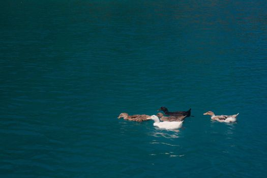 Several ducks floating in blue water