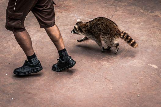Jog with a raccoon
