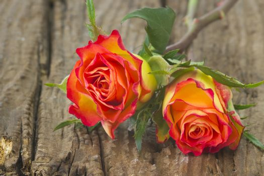 roses on old wooden background