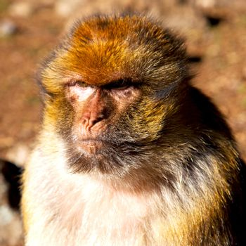 old monkey in africa morocco and natural background fauna close