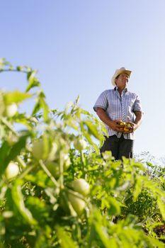 Portrait Man Farmer Harvesting Tomato Field Looking Away