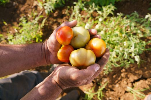 Farming and cultivations in Latin America. Middle aged hispanic farmer holding red and green tomatos in his hands, showing them to the camera.
