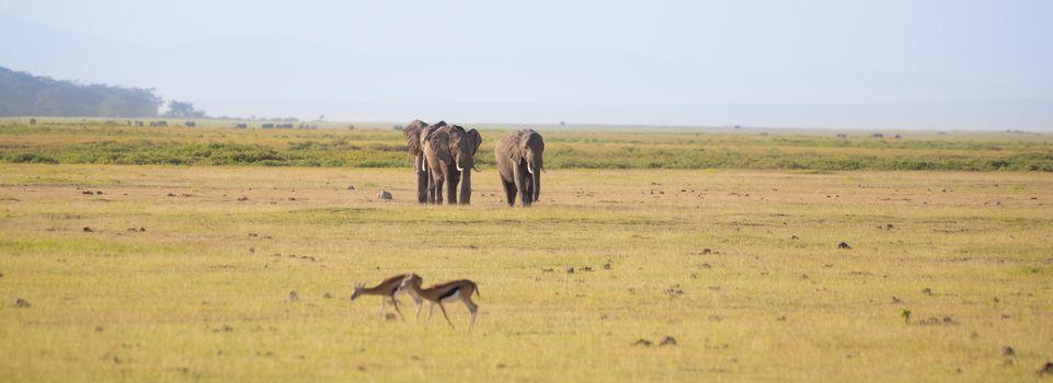 Herd of elephants in Amboseli National park Kenya