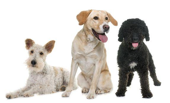 three purebred dogs