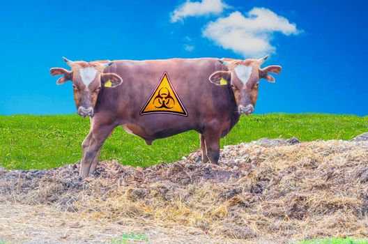 Photomontage, Breeding bull with two heads through genetic manipulation.