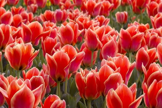 A spring field with red tulips