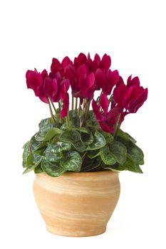 cyclamen persicum in a flower pot