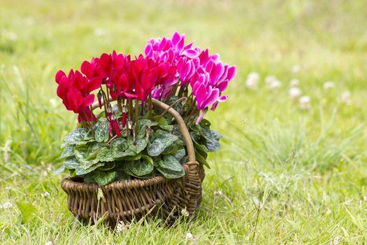 cyclamen persicum in a basket