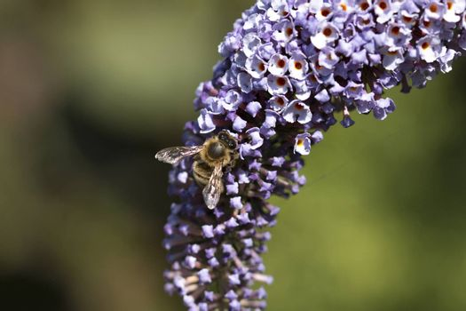 Macro photography of a bee on a purple butterfly bush