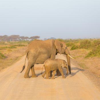 Elephants with calf  croosing dirt road.