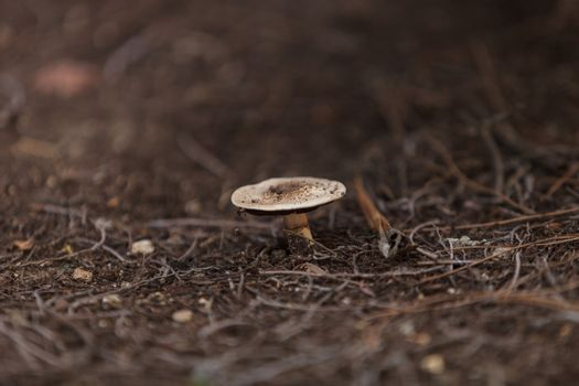 California fungi mushroom known as Amanita augusta
