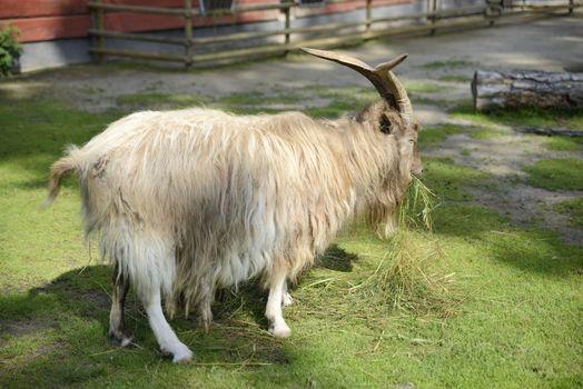 Goat Eating Grass on a Swedish farm.