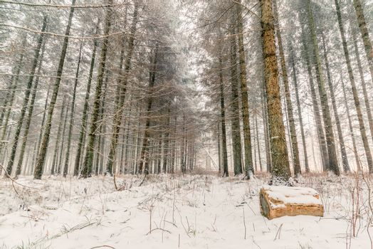 Snow in a forest at wintertime