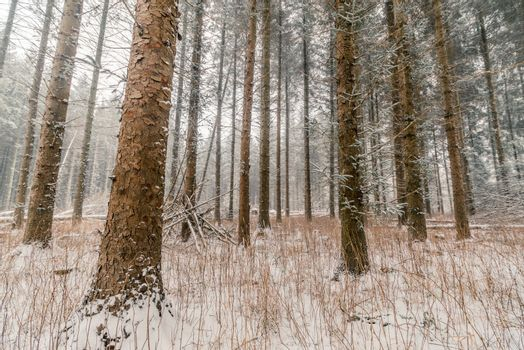 Tall pine trees at wintertime