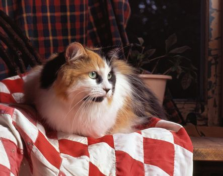 calico cat on a blanket