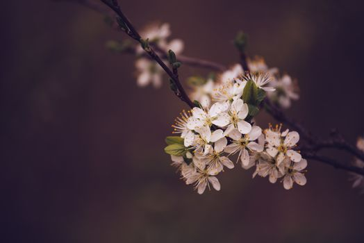 Cherry tree blossoming in spring, retro tone
