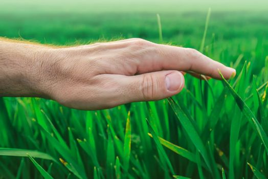 Crop protection concept, farmer's hand over young green wheat