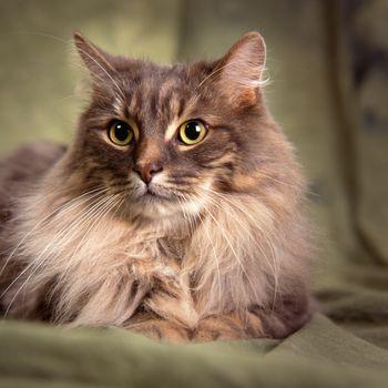 big furry gray cat