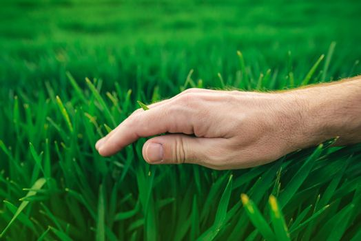 Farmer's hand over young green wheat, crop protection concept