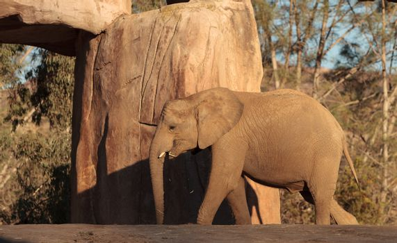 Elephant, Loxodonta Africana