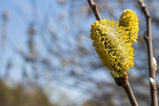 Willow tree flowers