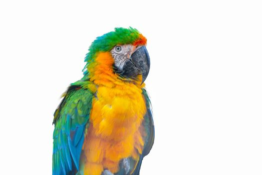 Macaw Parrot isolated on white