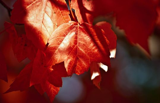 A Maple tree tells its foliage, it's time to go.