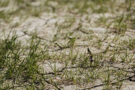 Grass sprouts on dry land