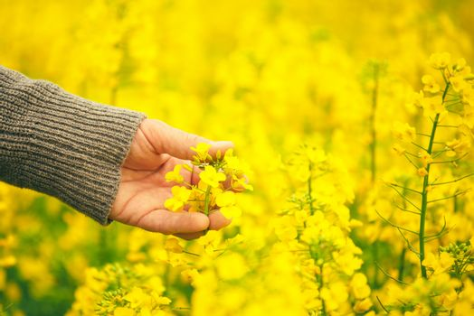 Male hand touching gentle blooming rapeseed crops