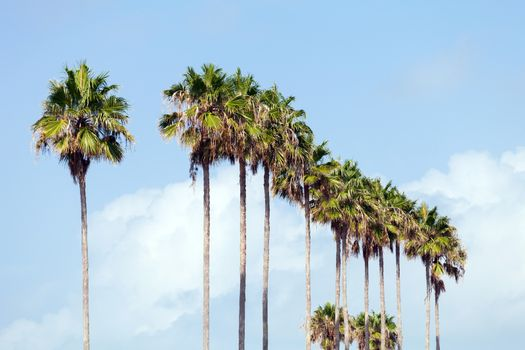 A row of palm trees in a tropical Florida setting.