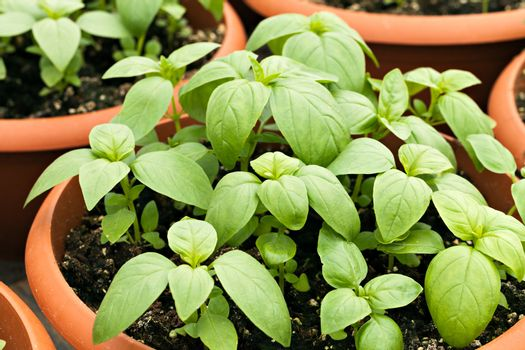Young potted basil plants.  Shallow depth of field.