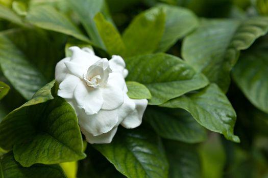 White Flower Green Leaves
