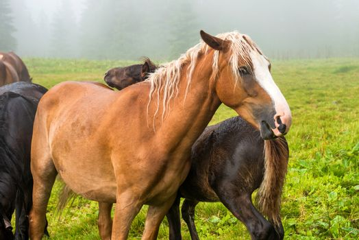 Brown chestnut horse with white mane