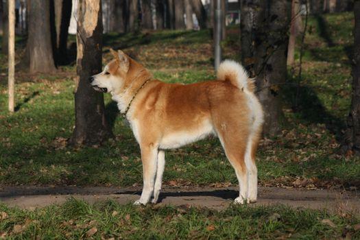 Beautiful Akita Inu proudly posing in  public park
